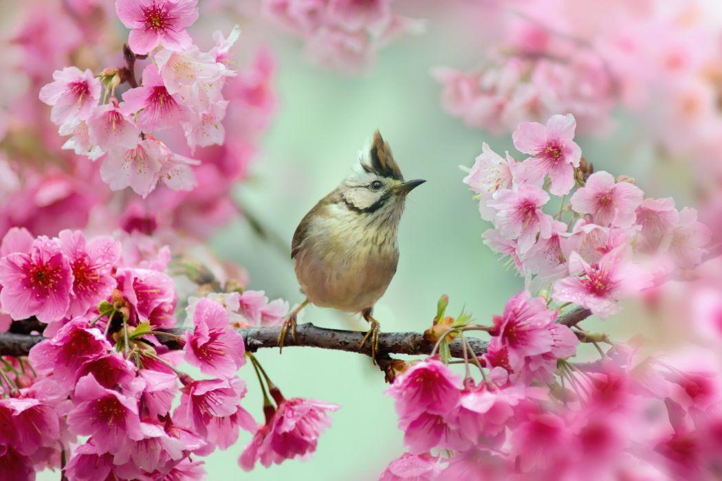 Burogolovaya Yuhina Yuhina bird bird branch cherry cherry blossom flowers wallpaper