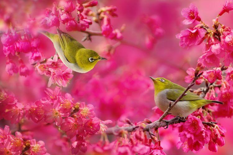 Japanese white-eye birds couple sakura cherry blossoms flowers branches wallpaper