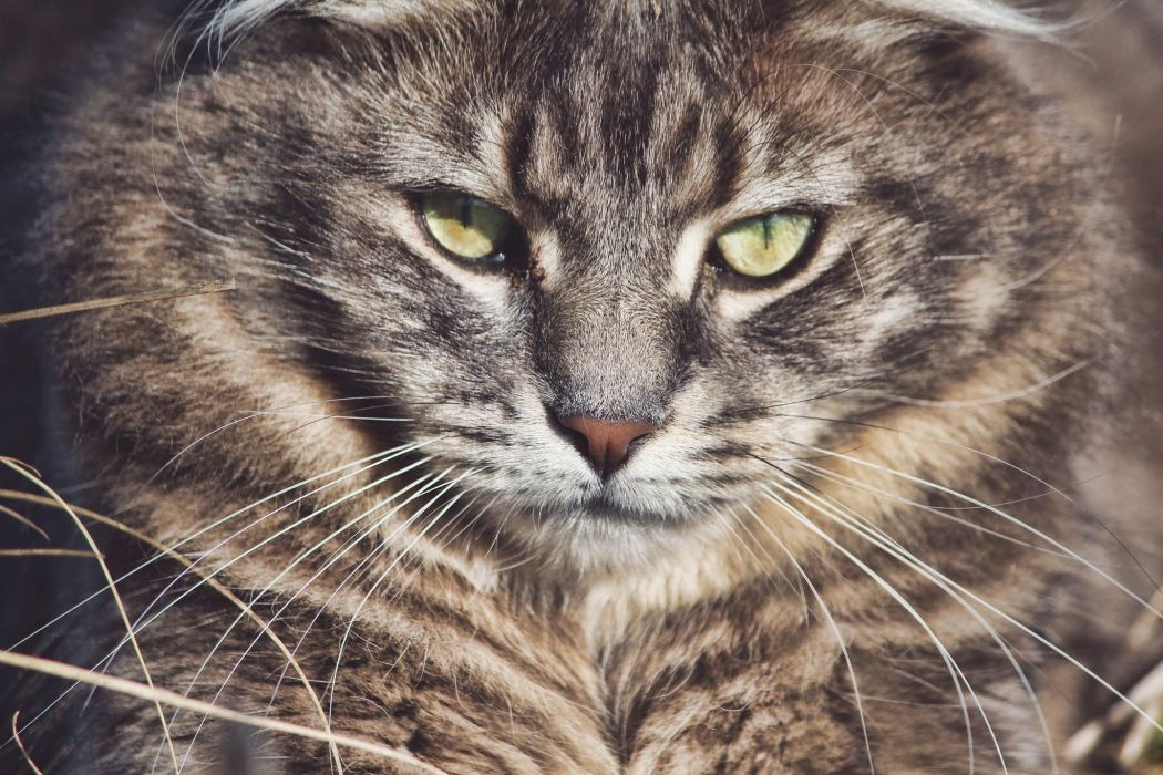 wild cat muzzle whiskers eyes wallpaper