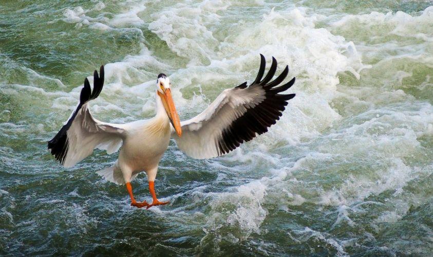 pelican bird wings water sea ocean wallpaper