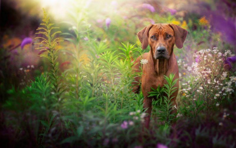 dog grass summer wallpaper