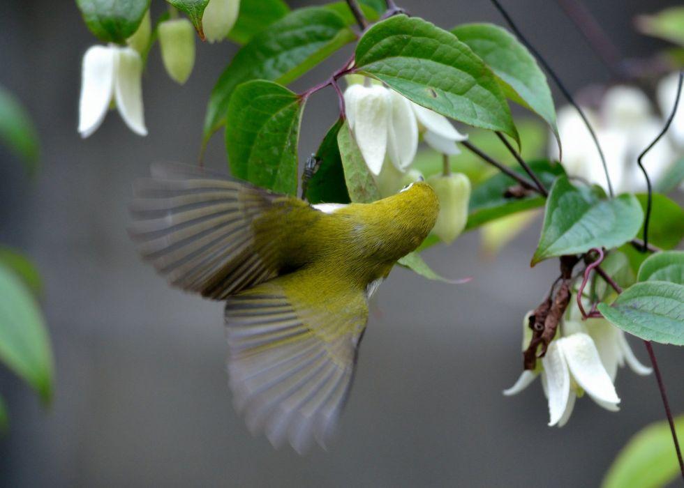 Japanese white-eye bird clematis flowers wallpaper