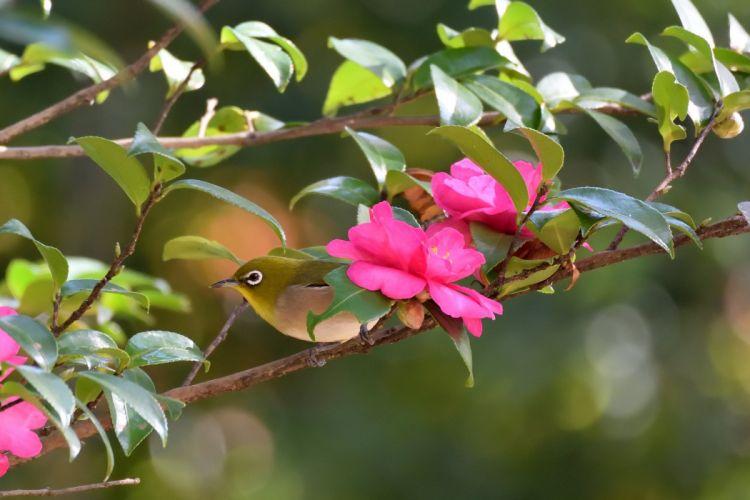 Japanese white-eye bird camellia branch wallpaper