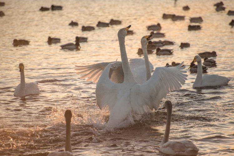 morning dawn lake swans splash swan mood sunrise wallpaper