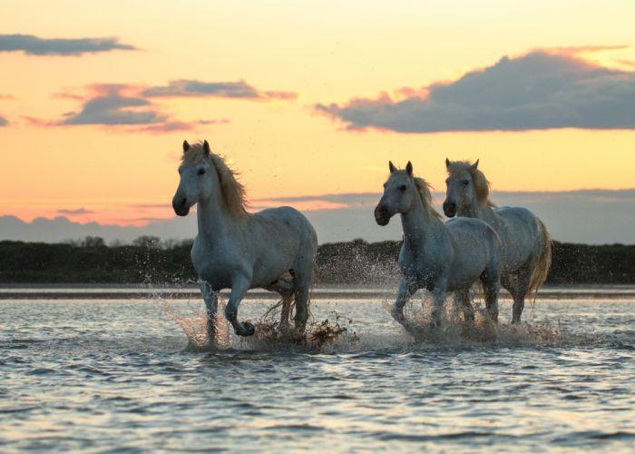 morning river sunrise dawn horses horse swimming wallpaper