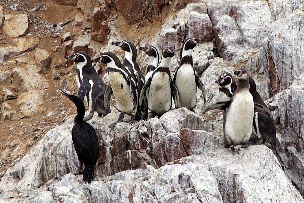 rock sea penguin wallpaper