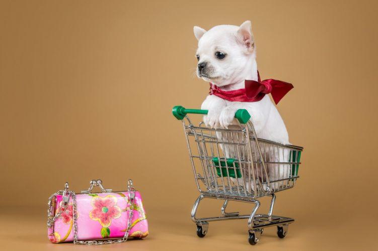 chihuahua dog puppy baby wallpaper