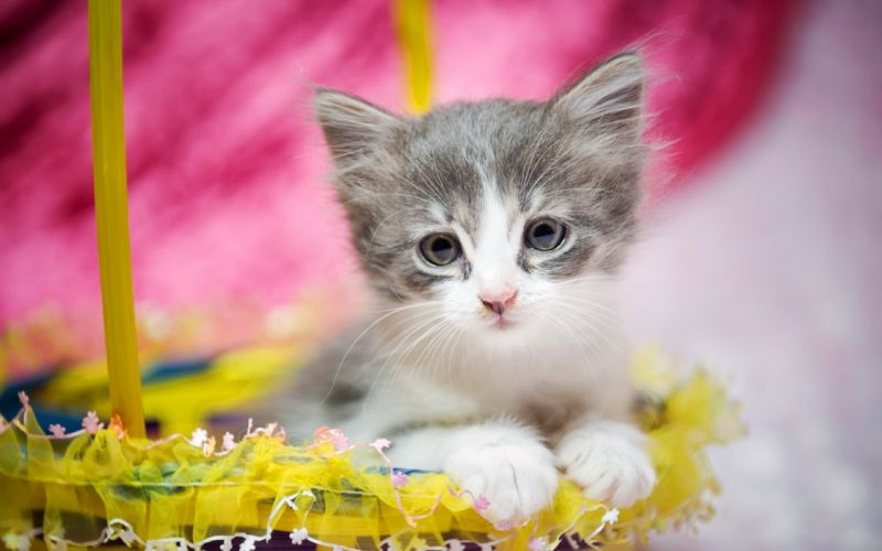 kitten baby basket cat easter wallpaper
