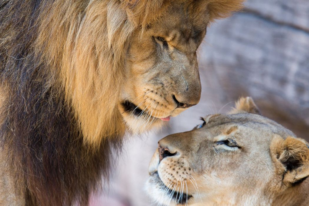 Lions Lion Lioness Couple Love Mood Wallpaper 2048x1365 719400