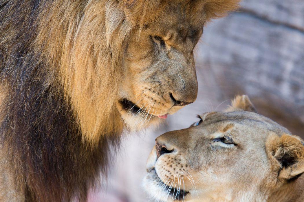 lions lion lioness couple love mood wallpaper