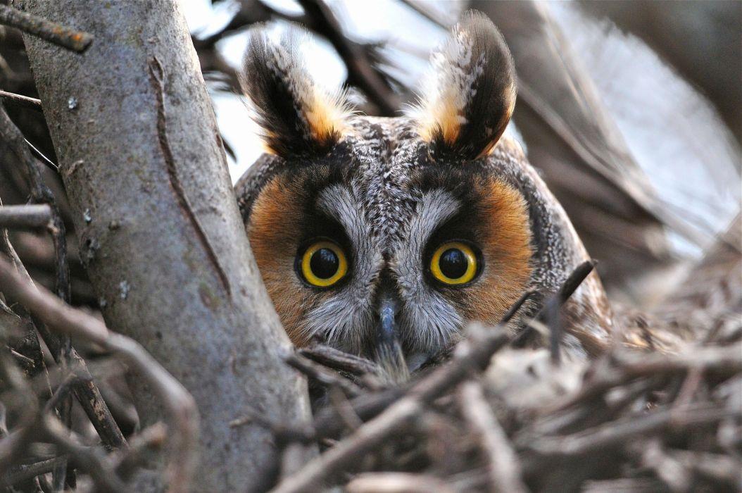 Long-eared owl owl bird head enormous eyes eyes branches wallpaper