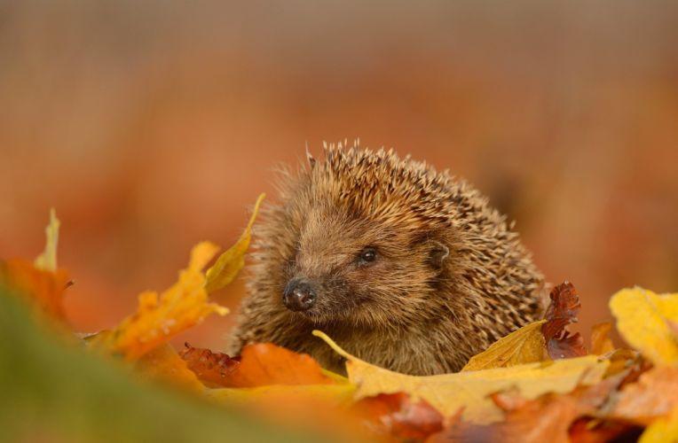 hedgehog snout leaves autumn wallpaper