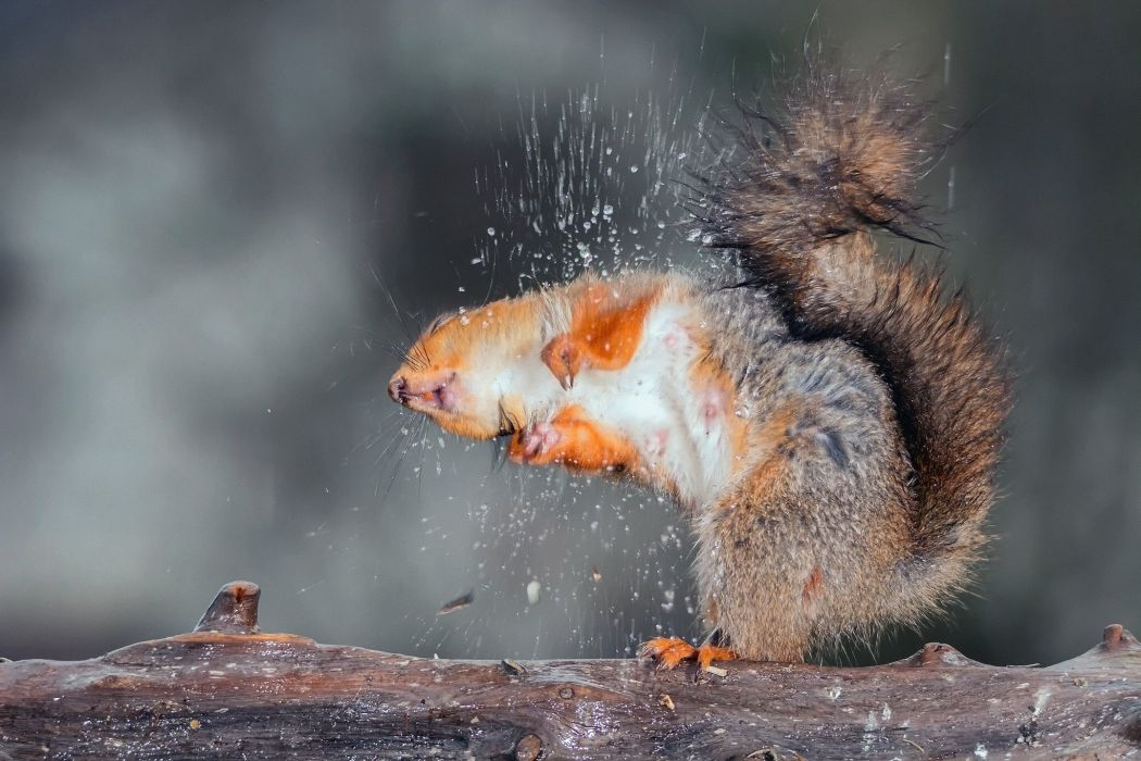squirrel drops forest water wallpaper