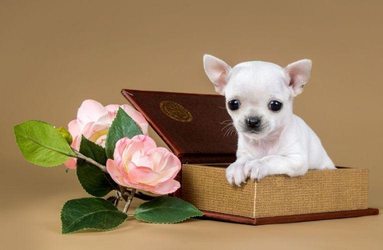 Chihuahua puppy dog flowers jewelry box g wallpaper