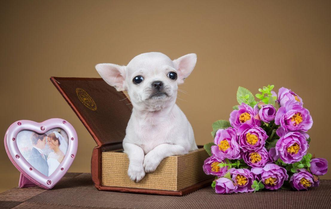 Chihuahua puppy dog flowers jewelry box wallpaper