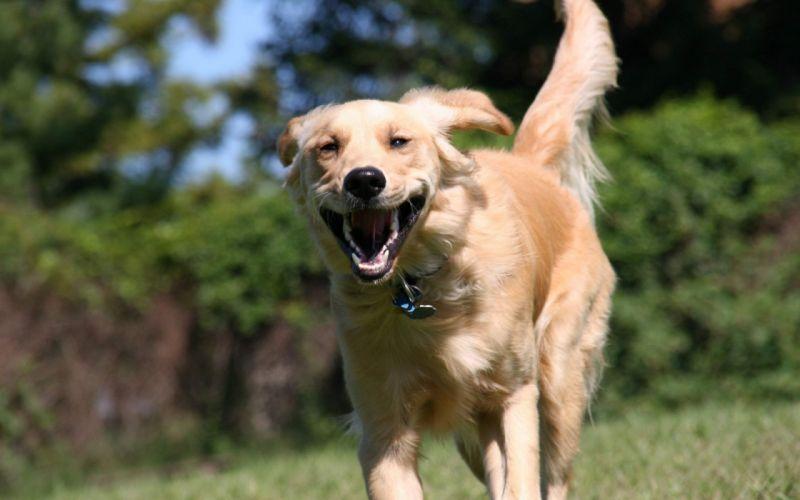 retriever running dog mood wallpaper