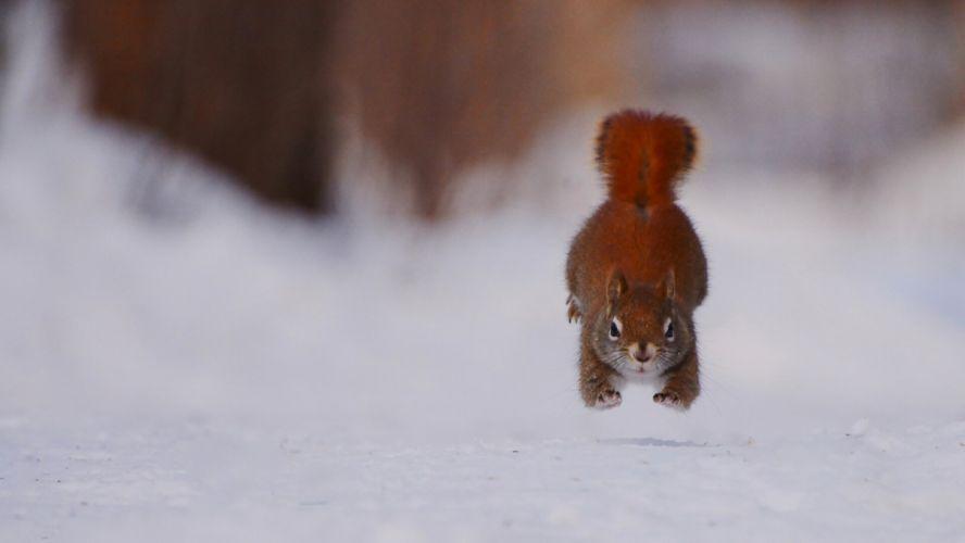 squirrel running winter snow wallpaper