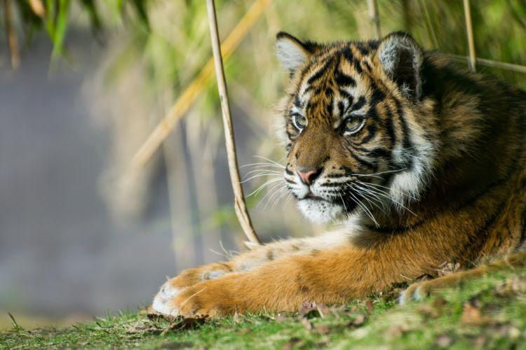 tiger predator forest wallpaper