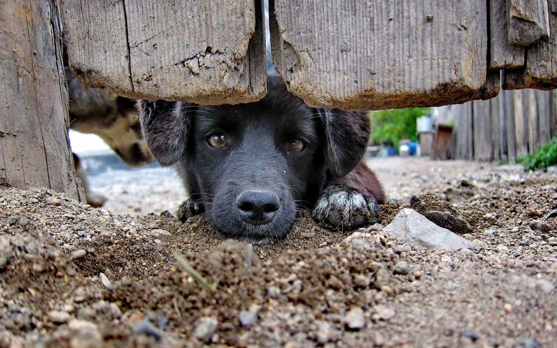 dog muzzle nose gate fence look wallpaper
