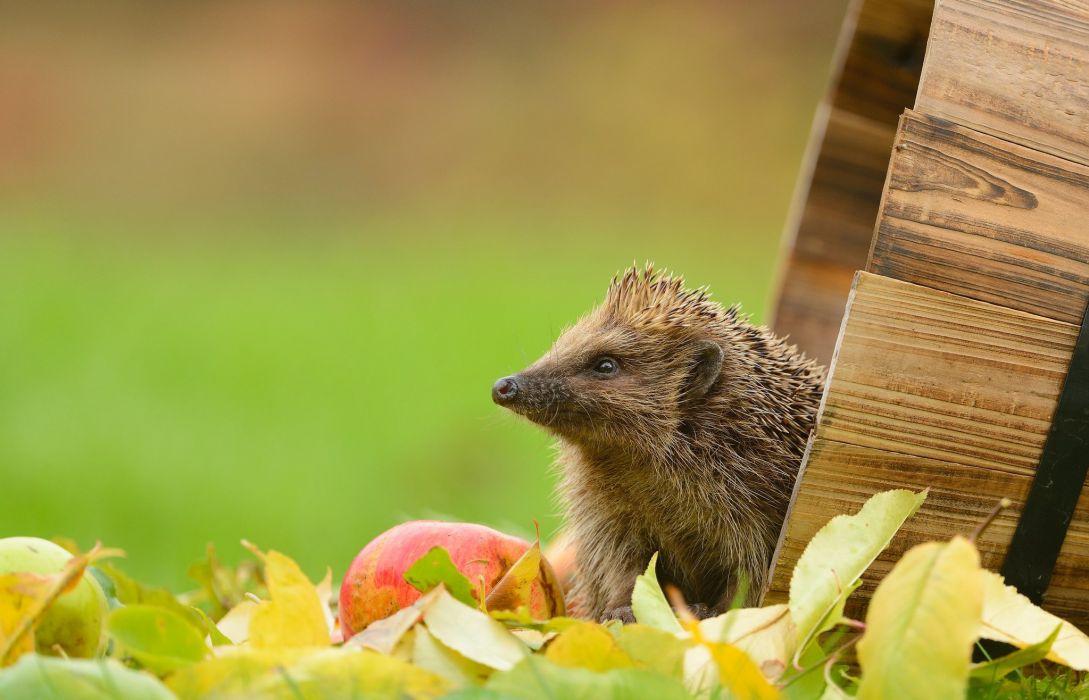 hedgehog apple leaves tub d wallpaper