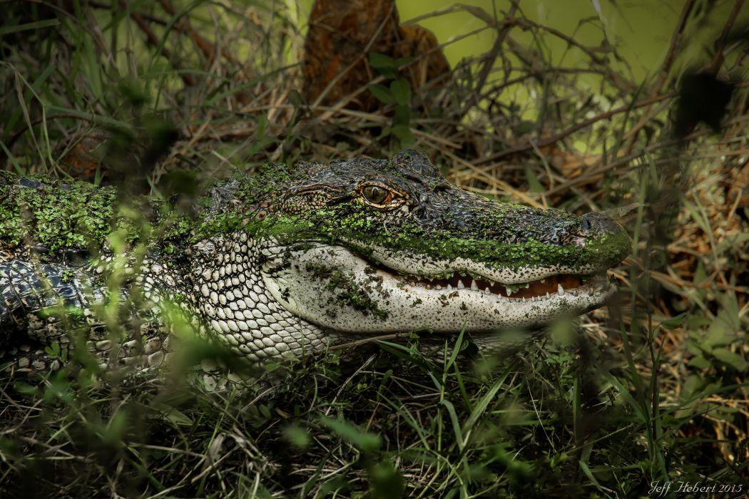 alligator lake swamp predator wallpaper