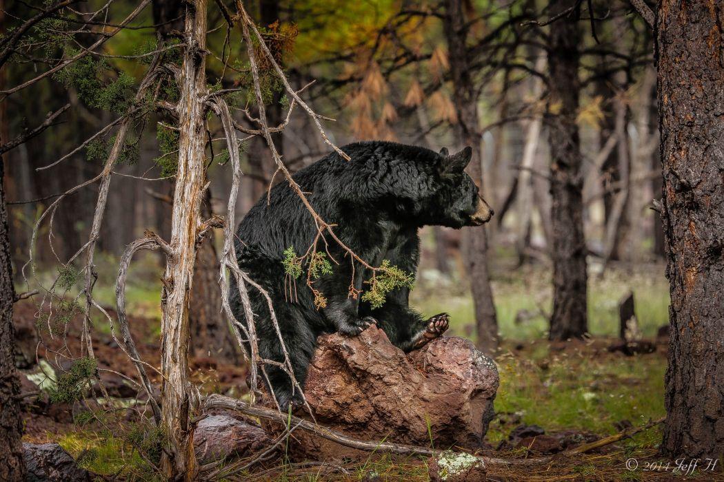 Baribal black bear bear forest wallpaper