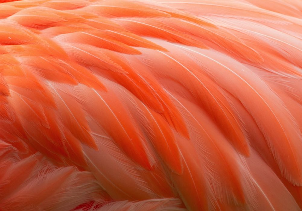 feathers bird flamingo wallpaper