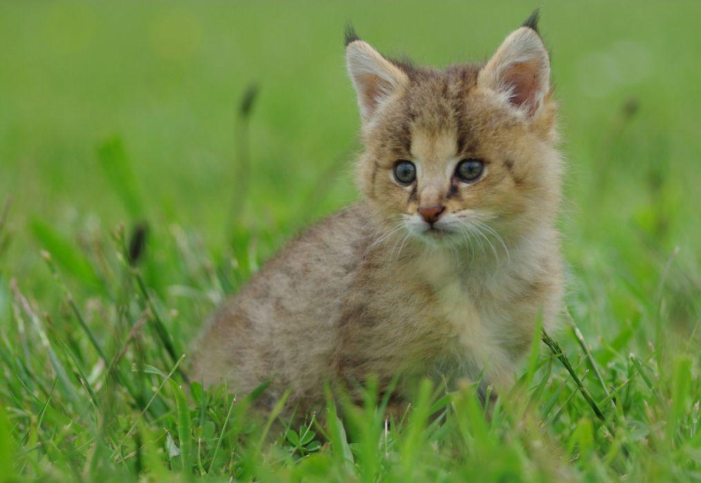 lynx cat kitten baby grass wallpaper
