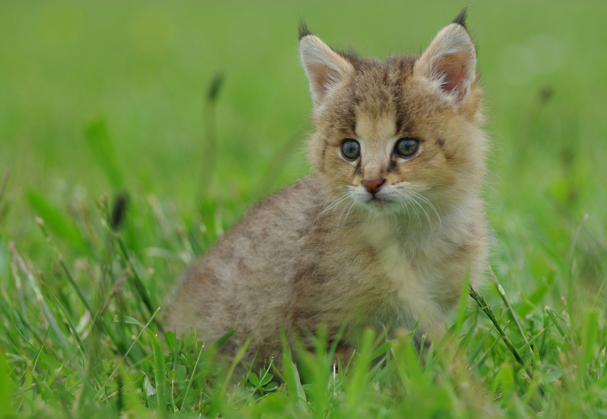 Baby Lynx Cat