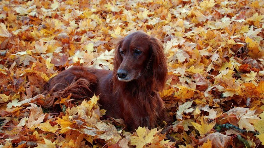 setter leaves dog autumn wallpaper