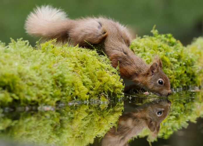 water reflection moss squirrel reflection lake pond forest wallpaper