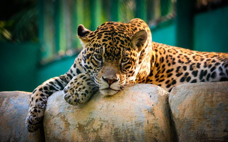 jaguar wild cat eyes predator wallpaper