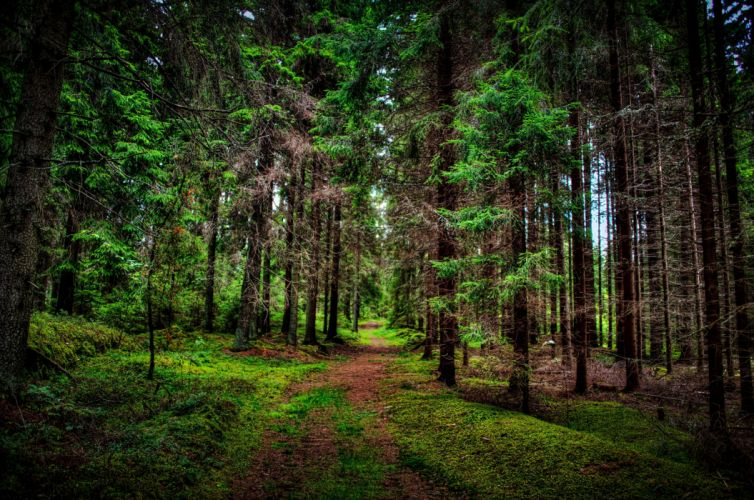 Pine Path Forest Tree wallpaper