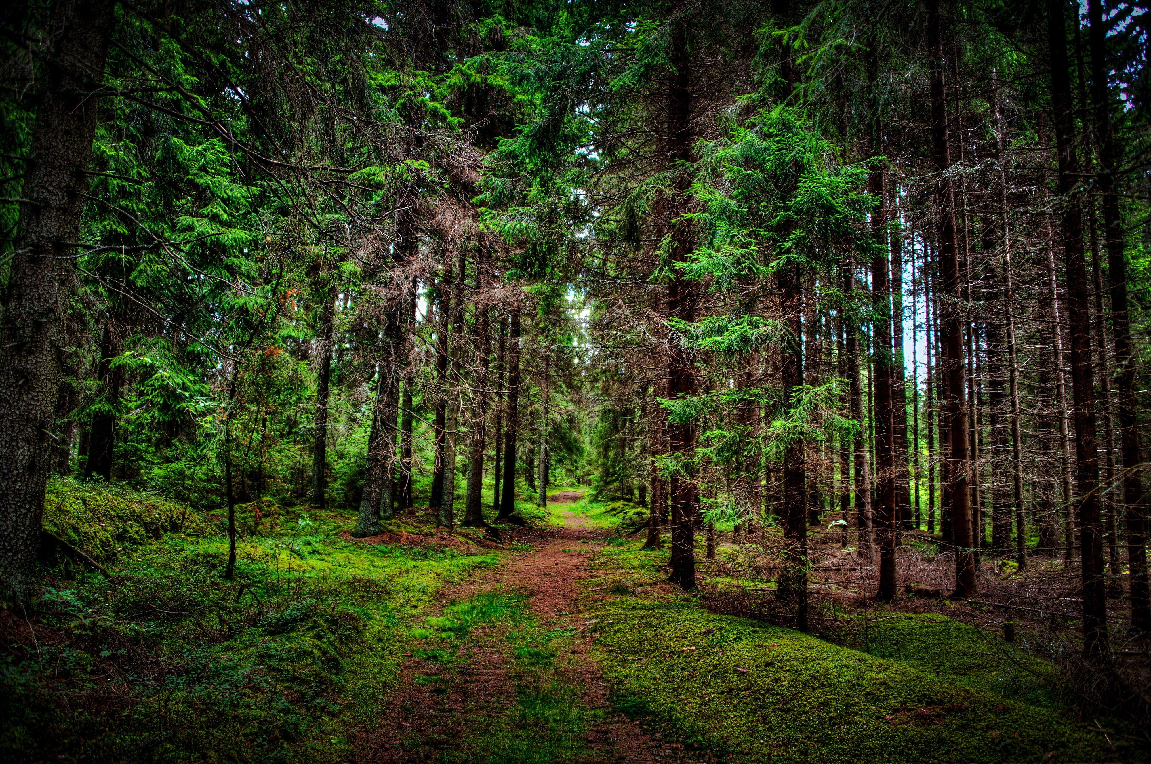 pine tree wallpaper related - photo #5