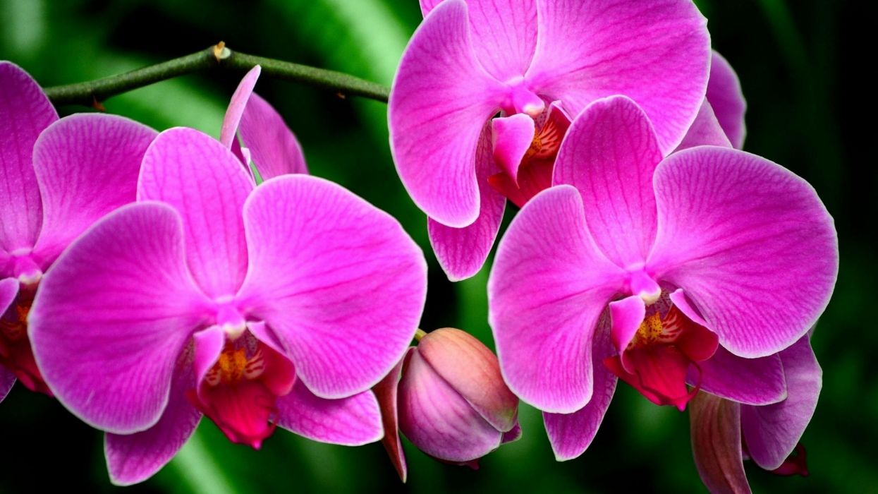Macro Pink Flower Flowers Orchid wallpaper