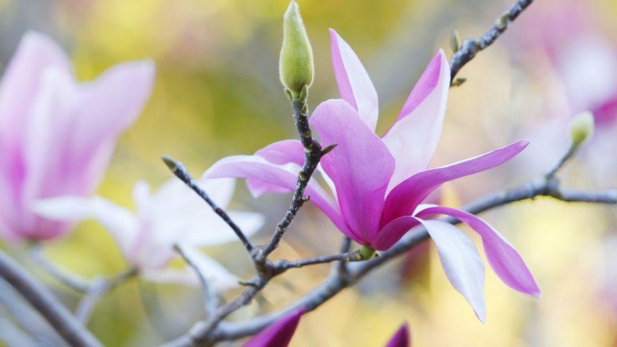 Flower Spring Blossom Magnolia wallpaper