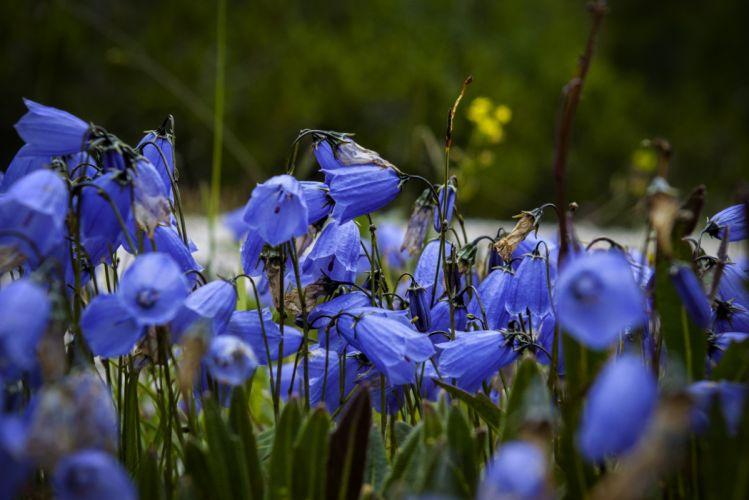 Blue Flower Flowers Nature macro bokeh wallpaper