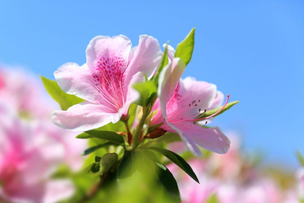 Spring Bloom Petal Macro Flower Azalea wallpaper