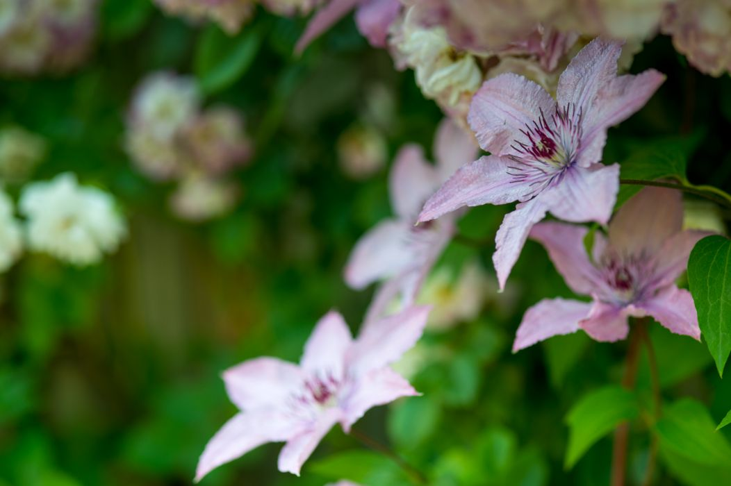 Bokeh Macro Buttercup Flower Clematis wallpaper