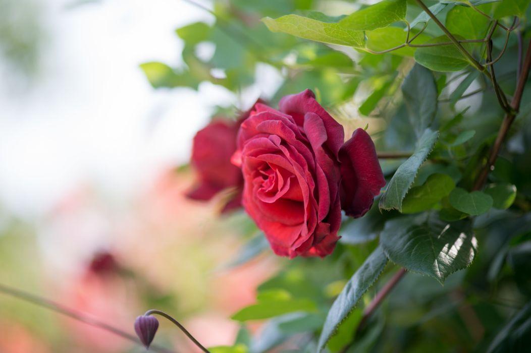 Macro Bokeh Rose Flower Leaf wallpaper