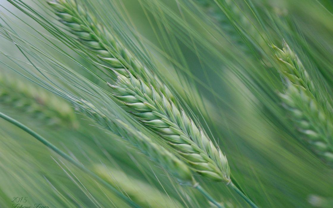 Spike Nature Field Summer Macro Wheat wallpaper