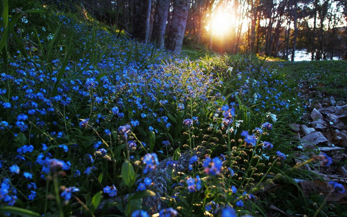 Sunbeam Blue Flower Flower Nature forest wallpaper