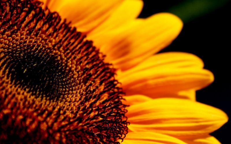 Flower Sunflowers sunflower macro bokeh wallpaper