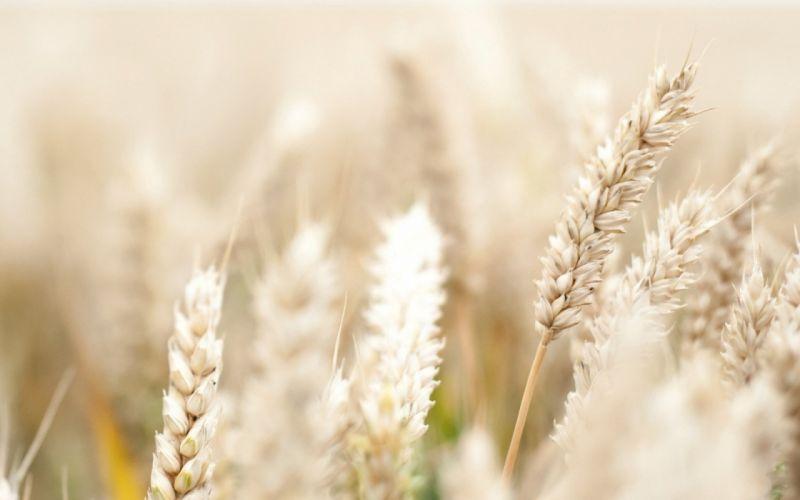 grass wheat bokeh macro wallpaper