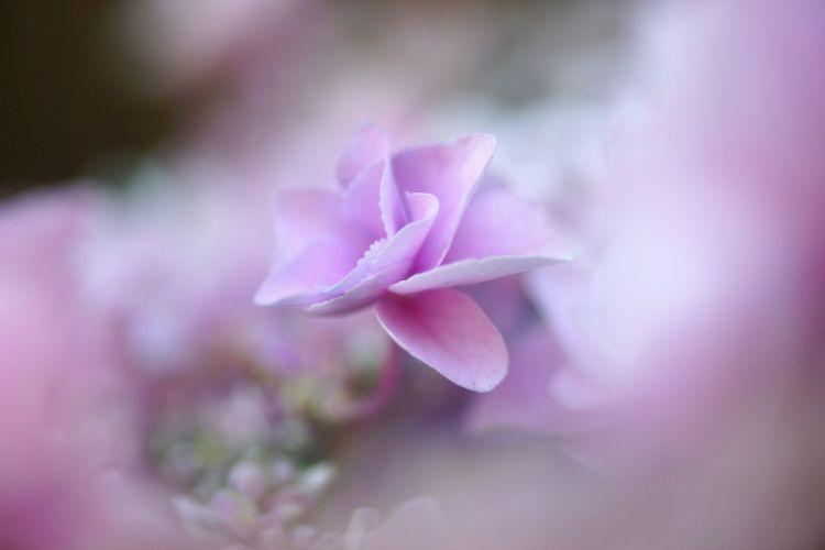 Pastel Blossom Petal Bokeh Flower Hydrangea Macrophylla Hydrangea wallpaper