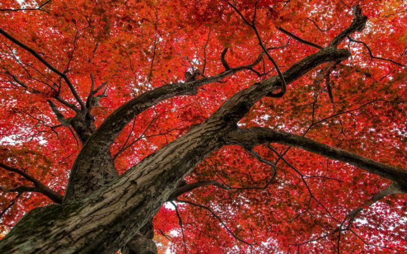 Maple Tree autumn wallpaper