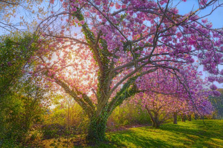 Sunshine Spring Cherry Blossom Blossom Cherry Tree Tree wallpaper