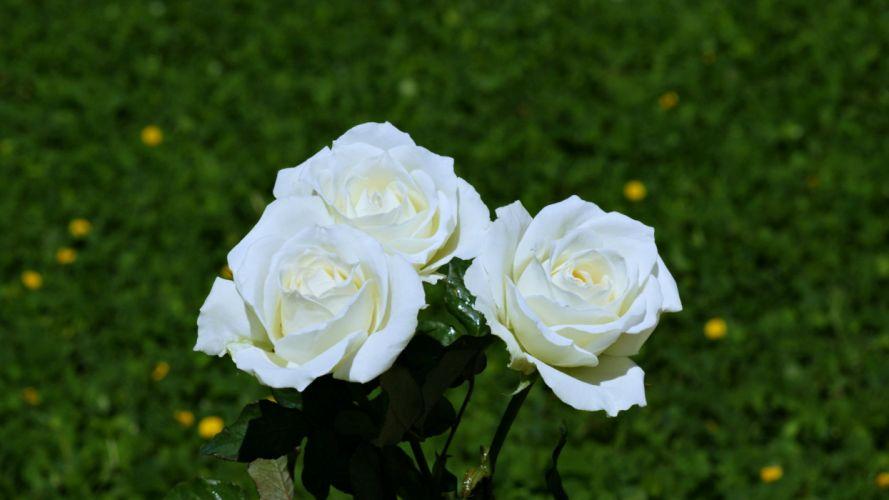 Garden White Flower Spring Nature Rose wallpaper