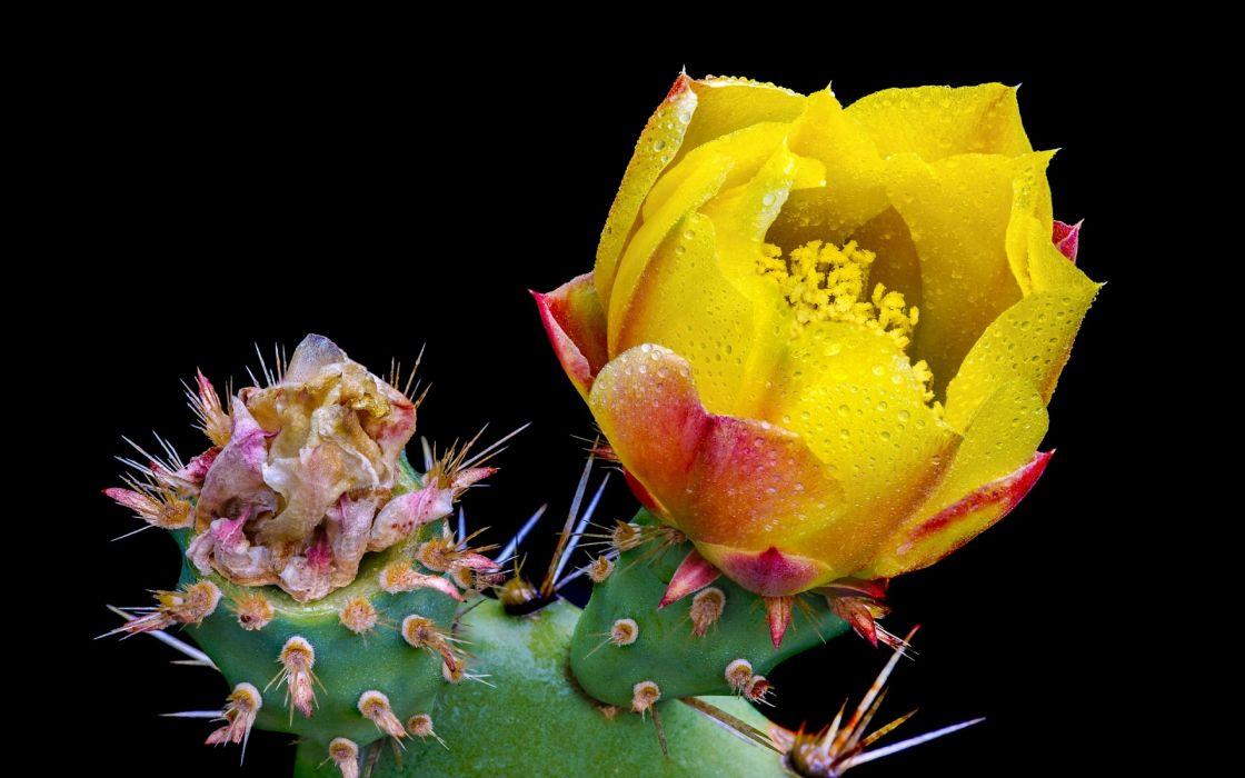 Cactus flower bokeh desert plant nature landscape drops wallpaper