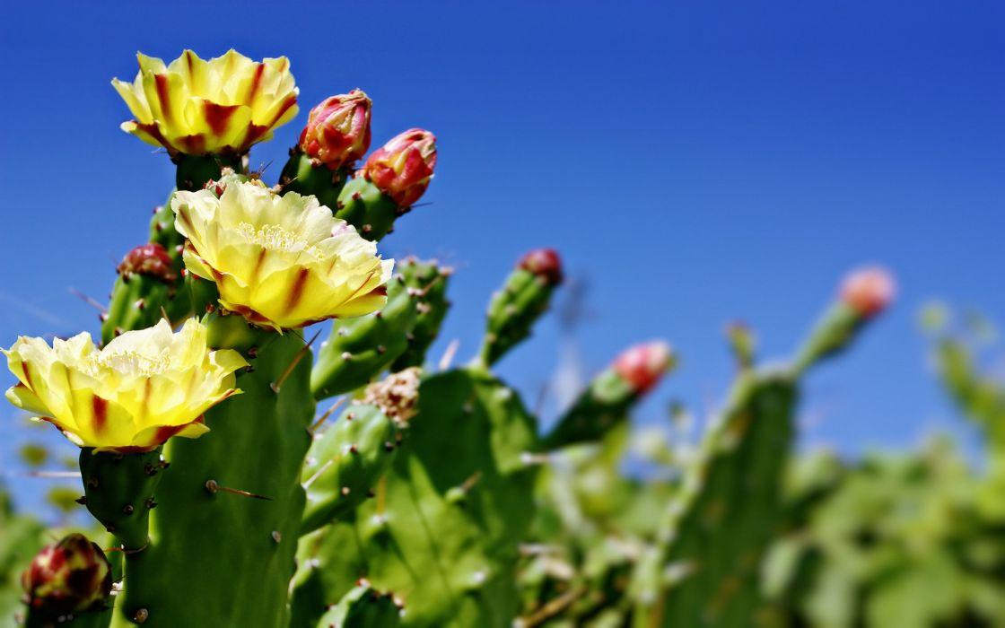 Cactus flower bokeh desert wallpaper